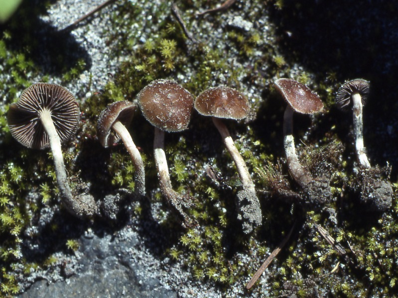 Selected Psychedelic Species - Vancouver Mycological Society