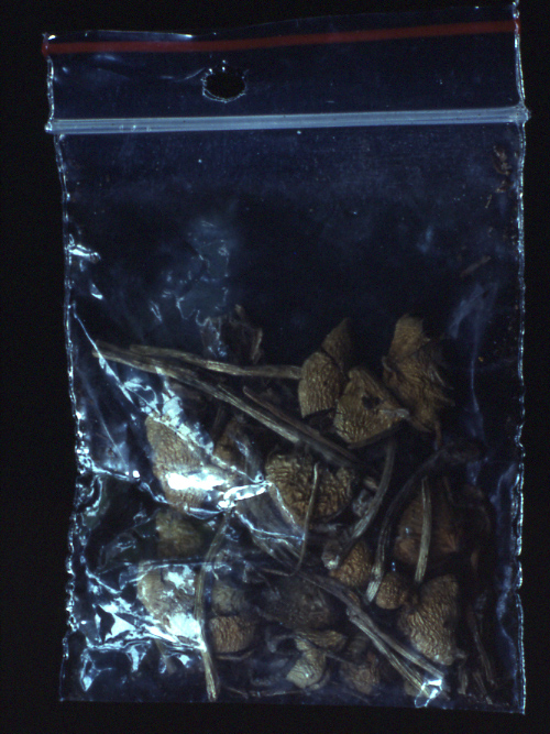Psilocybe semilanceata 045 - Vancouver Mycological Society