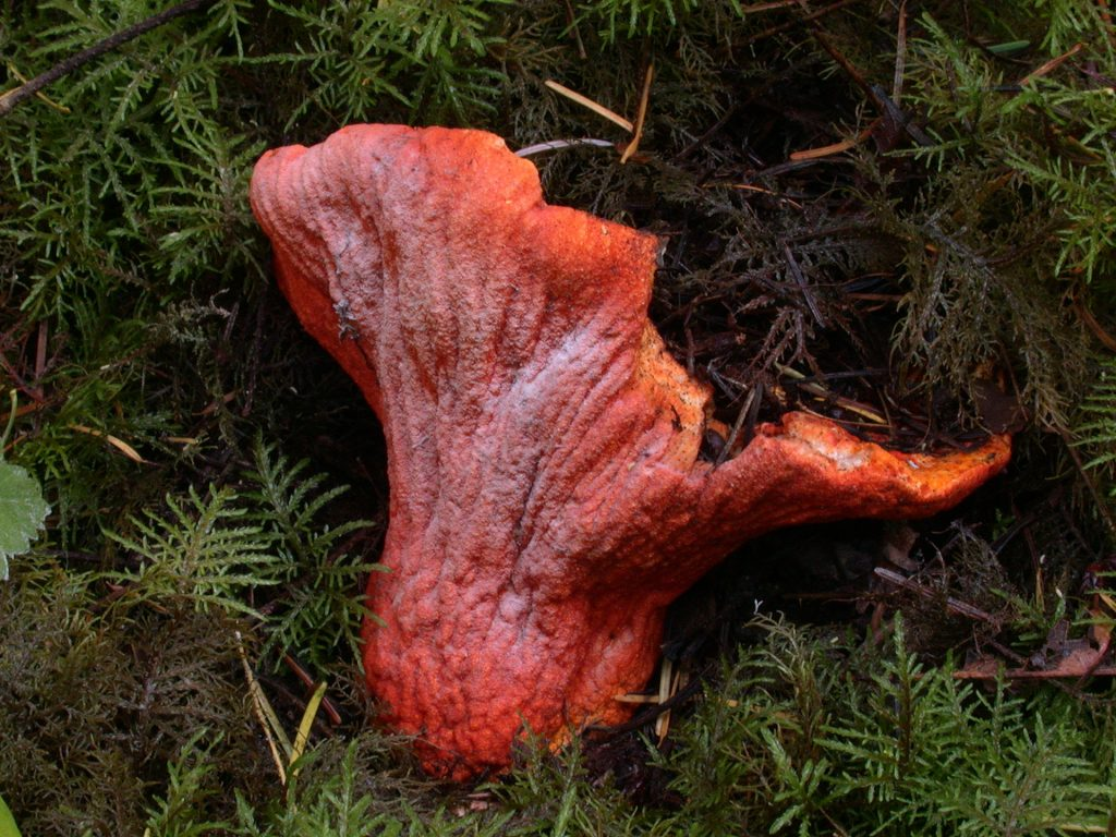 Lobster mushroom Hypomyces lactifluorum